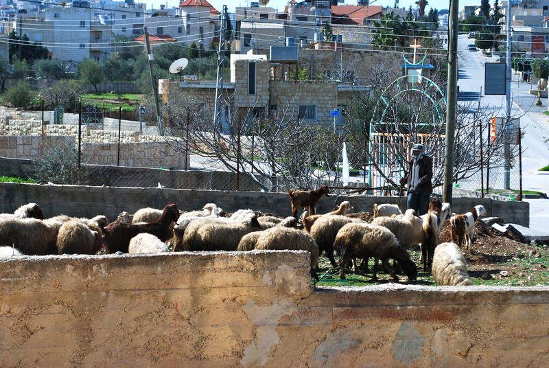 Sheepbethlehem