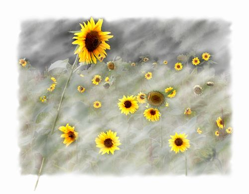 -The Sunflower Field- copy