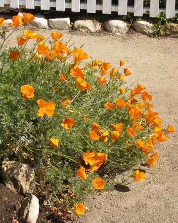 Calpoppies
