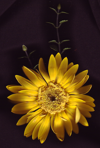 Daisyfinal